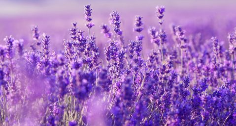 Lavender at Beechwood Inn - Beautiful field of Lavender