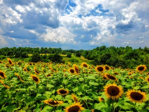 Photo of Sunflowers in nearby Long Creek NC
